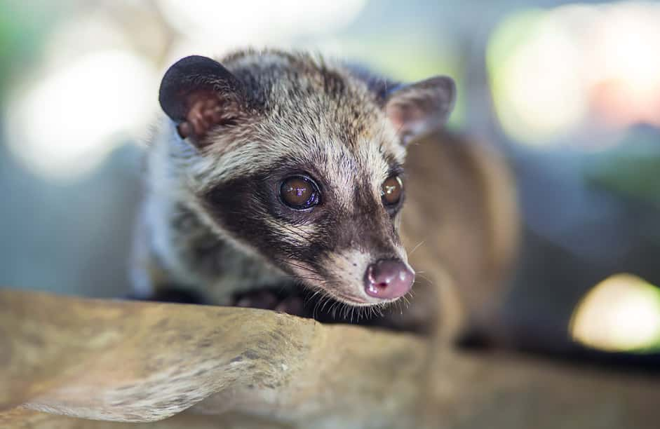 civet that eat the coffee beans