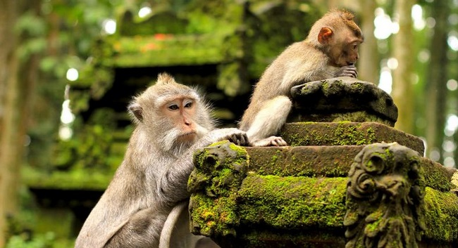 monyet di pura luhur uluwatu